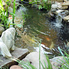 A large concrete Koi watches over his live brethren in a pond in the Smith's backyard. Jerry Laizure / The Transcript