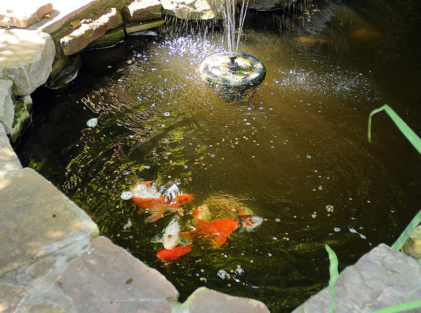Not all the creatures in the Smith Zoo are concrete. The Smiths have a few Koi ponds in their backyard. Jerry Laizure / The Transcrpt