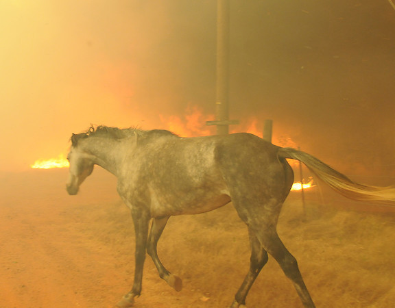 A horse tries to escape a wildfire Friday, Aug. 3, 2012, burning in the eastern part of the county. The horse was eventually rescued.  Jerry Laizure / The Transcript
