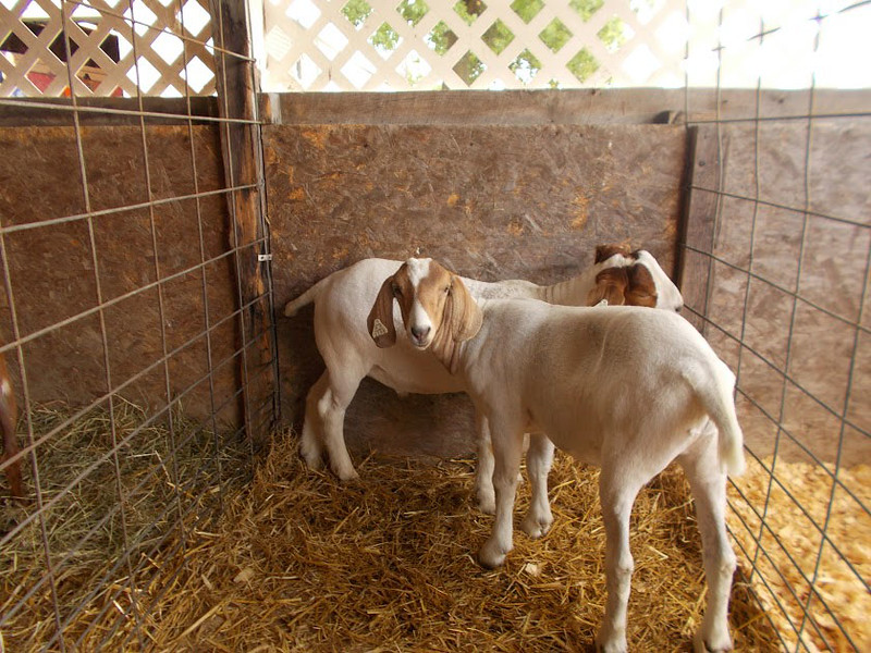 PHOTO PROVIDED Pictured are the Emerson sisters' goats that will be shown at the Medina County Fair.