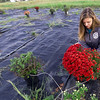 Seneca High School junior and budding entrepreneur Abby Meyer tends to one of her few remaining  mums in her plot at her Seneca home on Wednesday. Meyer grew about 400 plants this year and has sold most of her crop.<br /> Globe | Laurie Sisk
