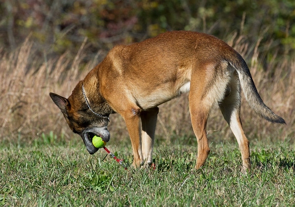 """""""Takoa,"""" a retired Belgian Malinois K-9 officer, retrieves a ball at his new home with retired Joplin Police Department Officer Travis Wathall near Goodman on Wednesday.<br /> Globe 