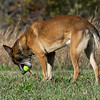 """Takoa,"" a retired Belgian Malinois K-9 officer, retrieves a ball at his new home with retired Joplin Police Department Officer Travis Wathall near Goodman on Wednesday.<br /> Globe 