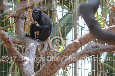 Macaque Monkey Adopts a Chick in Ramat Gan, Israel