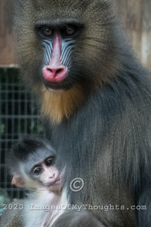 Three Baby Mandrills at Safari Ramat Gan