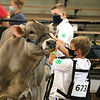 Owen Nisen urges his cow to move forward during the 2020 showcase at the Elkhart County 4-H Fairgrounds Friday.