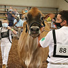 Hudson Yoder leads his cow along the arena at the Elkhart County 4-H Fairgrounds for the 2020 Showcase Friday.