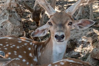 Persian Fallow Deer at the Tisch Family Zoological Gardens, the Biblical Zoo, in Jerusalem.