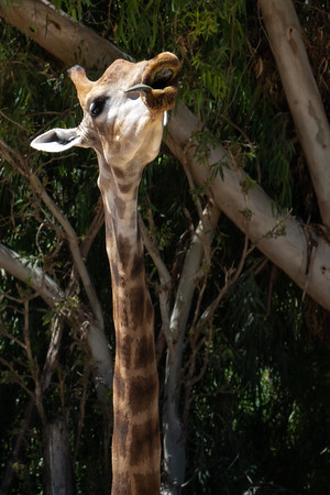 An Angolan giraffe at the Tisch Family Zoological Gardens, the Biblical Zoo, in Jerusalem.