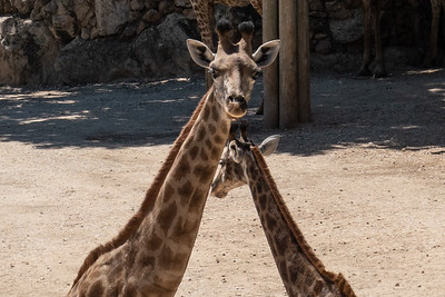 Angolan giraffes at the Tisch Family Zoological Gardens, the Biblical Zoo, in Jerusalem.