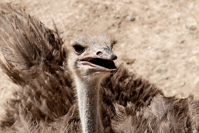An ostrich at the Tisch Family Zoological Gardens, the Biblical Zoo, in Jerusalem.