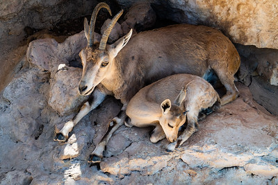 Nubian Ibex at the Tisch Family Zoological Gardens, the Biblical Zoo, in Jerusalem.