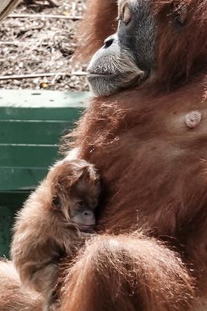 Baby Orangutan at Israel's Safari