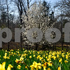 The landscape at Mrs. Lee's Daffodil Garden in Gladewater, Texas, on Tuesday, March 6, 2018. The original daffodils were brought in from Holland years ago and have continued to grow and thrive on the land. (Chelsea Purgahn/Tyler Morning Telegraph)
