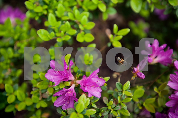 A bee flies around the azaleas in Guy and Joan Pyron's yard on Dobbs Street. The Pyrons will host the opening ceremony of the Azalea & Spring Flower Trail Friday at 10 a.m.  (Sarah A. Miller/Tyler Morning Telegraph)