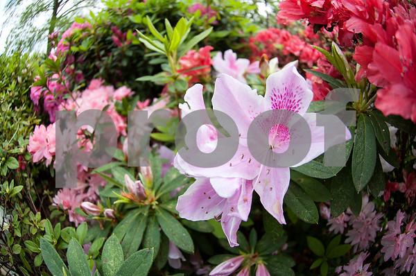 Azaleas show their colors in Guy and Joan Pyron's yard on Dobbs Street. The Pyrons will host the opening ceremony of the Azalea & Spring Flower Trail Friday at 10 a.m.  (Sarah A. Miller/Tyler Morning Telegraph)