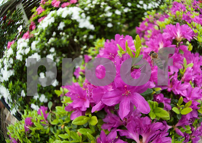 A bee collects pollen from azaleas in Guy and Joan Pyron's yard on Dobbs Street Wednesday March 23, 2016. The Pyrons will host the opening ceremony of the Azalea & Spring Flower Trail Friday at 10 a.m.  (Sarah A. Miller/Tyler Morning Telegraph)