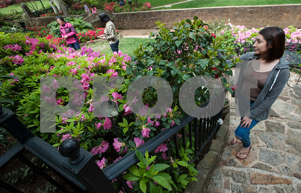 Janet Perez of Tyler looks at azaleas in Guy and Joan Pyron's yard on Dobbs Street. The Pyrons will host the opening ceremony of the Azalea & Spring Flower Trail Friday at 10 a.m.  (Sarah A. Miller/Tyler Morning Telegraph)