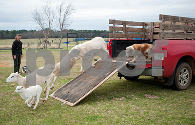 photo by Sarah A. Miller/Tyler Morning Telegraph  Carol Collins of Troup runs a herding dog demonstration at the 1836 Chuckwagon Race Festival held at Diamond B Ranch in Neches, Texas Wednesday. The event celebrates Texas Independence Day Weekend sanctioned chuckwagon races March 7-9 and camping and other events throughout the week such as concerts, trail rides, a mounted shooting clinic and a dutch oven cooking class.
