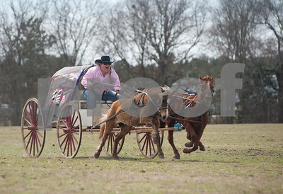photo by Sarah A. Miller/Tyler Morning Telegraph  A member of team Say Win from Beebe, Ark. screams for her ponies to run faster in the Oklahoma Land Rush division race at the 1836 Chuckwagon Race in Neches, Texas Friday March 7, 2014. The 1836 Chuckwagon Race at Diamond B Ranch is a week long celebration of western culture centering around Texas Independence Day weekend. The race is sanctioned by the National Championship Chuckwagon Race and Texas Chuckwagon Race Association. Races continue Saturday and Sunday. The Oklahoma Land Rush Wagon Class represents the historical reenactment of the Oklahoma Land Rush. It's a 600 foot dash with a 300 pound wagon and ponies no more than 46 inches tall.