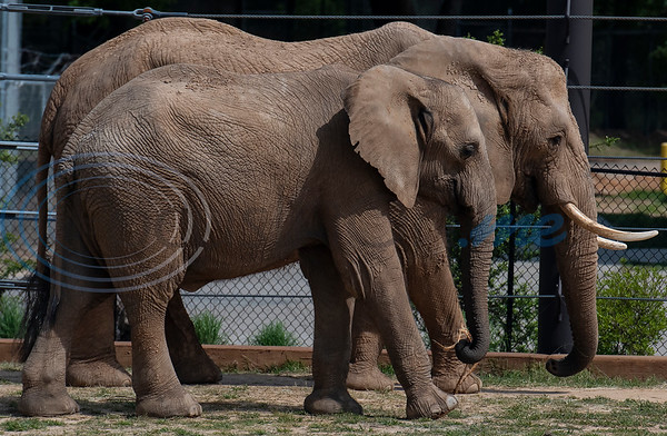 African elephant Emanti, age 8, walks with Tonya, age 42,  at the Caldwell Zoo in Tyler on Tuesday April 16, 2019. Emanti and his half brother eMacembre, age 9, recently joined the Caldwell Zoo coming from the San Diego Zoo Safari Park.  (Sarah A. Miller/Tyler Morning Telegraph)