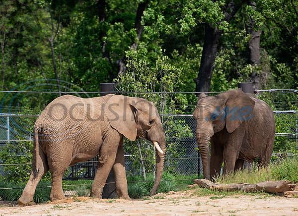 Two African elephants, eMacembe, age 9, and Emanti, age 8, are new the the Caldwell Zoo in Tyler. The half brothers came from the San Diego Zoo Safari Park. Emanti had his tusks removed resulting from an accident as a young elephant.   (Sarah A. Miller/Tyler Morning Telegraph)