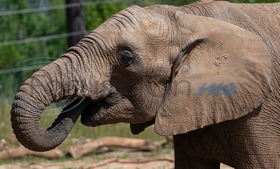 Emanti, age 8, drinks water at the Caldwell Zoo in Tyler. Emanti had his tusks removed resulting from an accident as a young elephant.   (Sarah A. Miller/Tyler Morning Telegraph)