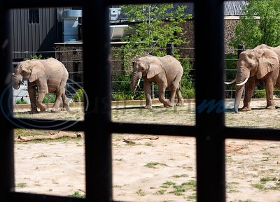 African elephants Emanti, age 8, eMacembre, age 9, and walks Tonya, age 42, walk in their enclosure at the Caldwell Zoo in Tyler on Tuesday April 16, 2019. Emanti and his half brother eMacembre recently joined the Caldwell Zoo coming from the San Diego Zoo Safari Park.  (Sarah A. Miller/Tyler Morning Telegraph)