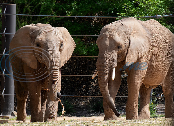 Two African elephants, Emanti, age 8, and  eMacembe, age 9, are new the the Caldwell Zoo in Tyler. The half brothers came from the San Diego Zoo Safari Park. Emanti had his tusks removed resulting from an accident as a young elephant.   (Sarah A. Miller/Tyler Morning Telegraph)