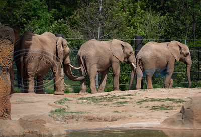 African elephants Tonya, age 42, eMacembre, age 9, and Emanti, age 8, walk in their enclosure at the Caldwell Zoo in Tyler on Tuesday April 16, 2019. Emanti and his half brother eMacembre recently joined the Caldwell Zoo coming from the San Diego Zoo Safari Park.  (Sarah A. Miller/Tyler Morning Telegraph)