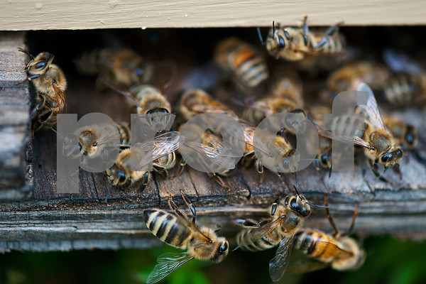 photo by Sarah A. Miller/Tyler Morning Telegraph  Bees enter and exit a hive in beekeeper Dick Counts' yard Thursday April 23, 2015 in Chapel Hill. Counts, who is president of the East Texas Beekeepers Association, was preparing thousands of bees to be ready for delivery to new homes.