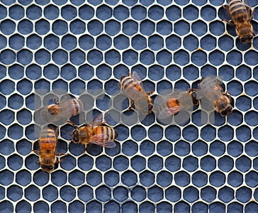 photo by Sarah A. Miller/Tyler Morning Telegraph  Several bees walk on a new side of a frame in a box hive in Dick Counts' yard Thursday April 23, 2015 in Chapel Hill. Counts, who is president of the East Texas Beekeepers Association, was preparing thousands of bees to be ready for delivery to new homes.