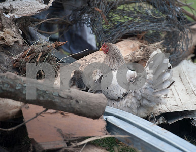 Chickens that survived the tornado that his Don Good's home roam the wreckage on his property in Canton, Texas Tuesday May 2, 2017.   (Sarah A. Miller/Tyler Morning Telegraph)