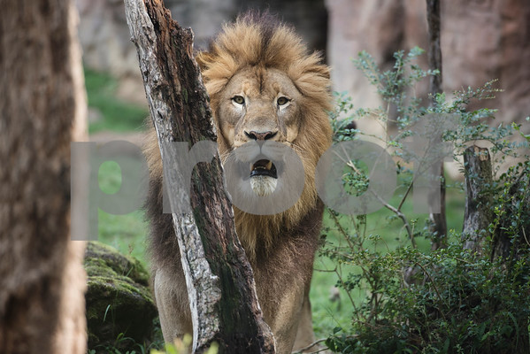 An African lion is pictured in its enclosure at the Caldwell Zoo in Tyler Tuesday May 23, 2017.  (Sarah A. Miller/Tyler Morning Telegraph)