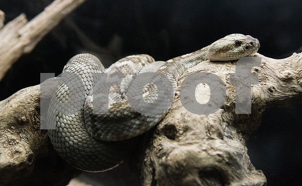 A black-tailed rattlesnake is seen during a field trip at the Caldwell Zoo in Tyler Tuesday May 23, 2017.  (Sarah A. Miller/Tyler Morning Telegraph)