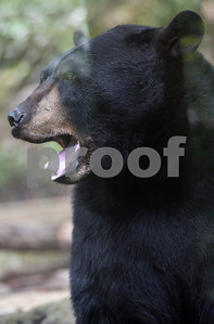 A North American Black Bear is seen during a field trip at the Caldwell Zoo in Tyler Tuesday May 23, 2017.  (Sarah A. Miller/Tyler Morning Telegraph)
