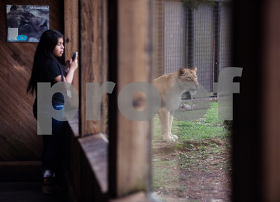 A Boulter Middle School sixth grader photographs a lion during a field trip at the Caldwell Zoo in Tyler Tuesday May 23, 2017.  (Sarah A. Miller/Tyler Morning Telegraph)