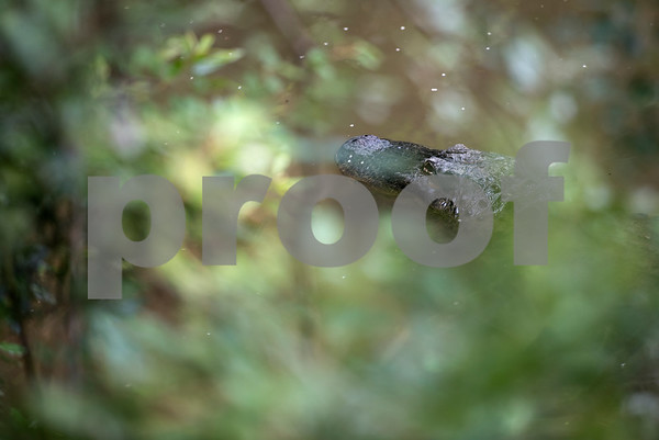 An American alligator is pictured in its enclosure at the Caldwell Zoo in Tyler Tuesday May 23, 2017.  (Sarah A. Miller/Tyler Morning Telegraph)