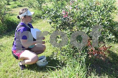 Mary Lynne Jones of Flint picks blueberries at Echo Springs Blueberry Farm in Brownsboro Friday June 24, 2016.   (Sarah A. Miller/Tyler Morning Telegraph)