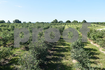 Fields of blueberries are pictured at Echo Springs Blueberry Farm in Brownsboro Friday June 24, 2016.   (Sarah A. Miller/Tyler Morning Telegraph)