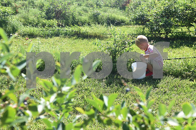 Knox Vieregge, 5, of Athens, picks blueberries at Echo Springs Blueberry Farm in Brownsboro Friday June 24, 2016.   (Sarah A. Miller/Tyler Morning Telegraph)