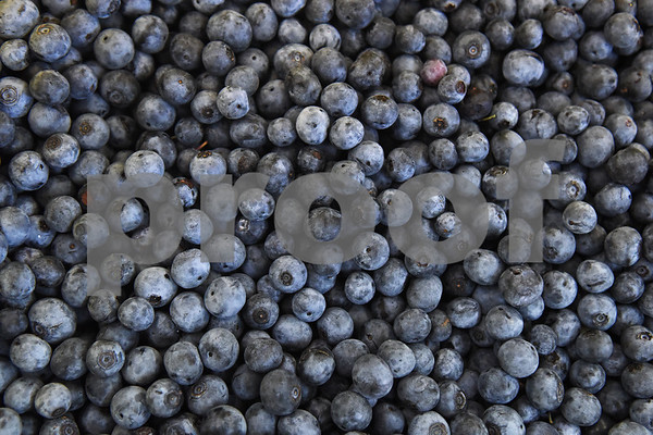Blueberries for juice are put into containers at Echo Springs Blueberry Farm in Brownsboro Friday June 24, 2016.   (Sarah A. Miller/Tyler Morning Telegraph)