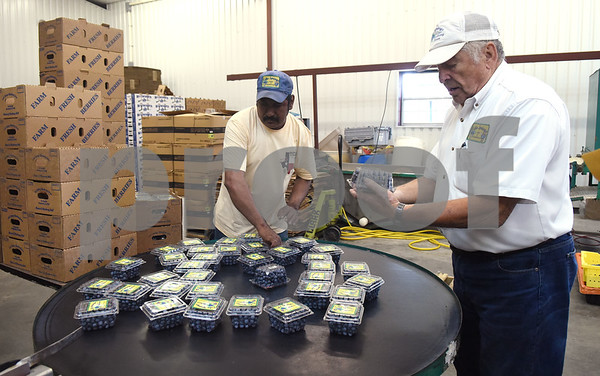 Owner Ivan Vaselenuick picks up a pint of blueberries after they've just been packaged at Echo Springs Blueberry Farm in Brownsboro Friday June 24, 2016.   (Sarah A. Miller/Tyler Morning Telegraph)