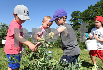 Parker Till, 4, Knox Vieregge, 5, Cross Perry, 4, and Carson Davis, 6, all of Athens, pick blueberries at Echo Springs Blueberry Farm in Brownsboro Friday June 24, 2016.   (Sarah A. Miller/Tyler Morning Telegraph)