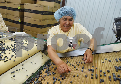 Jovita Chavez sorts blueberries for packaging at Echo Springs Blueberry Farm in Brownsboro Friday June 24, 2016.   (Sarah A. Miller/Tyler Morning Telegraph)