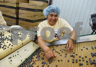 Jovita Chavez sorts blueberries for packaging at Echo Springs Blueberry Farm in Brownsboro Friday June 24, 2016.   (Sarah A. Miller/Tyler Morning Telegraph)