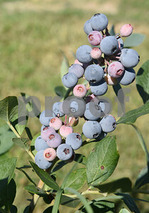 Blueberries grow in fields at Echo Springs Blueberry Farm in Brownsboro Friday June 24, 2016. Echo Springs has over 50 acres of blueberry producing plants.  (Sarah A. Miller/Tyler Morning Telegraph)