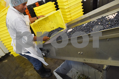 Jose Benitez puts freshly picked blueberries on a conveyor belt to be sorted for packaging at Echo Springs Blueberry Farm in Brownsboro Friday June 24, 2016.   (Sarah A. Miller/Tyler Morning Telegraph)