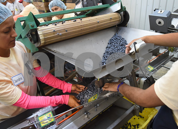 Sandra Chavez and Ernesto Rojas package freshly picked blueberries into pint containers at Echo Springs Blueberry Farm in Brownsboro Friday June 24, 2016.   (Sarah A. Miller/Tyler Morning Telegraph)