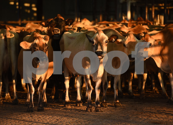 Dairy cows line up to be milked in the early morning at Jersey Girls Milk Company in Winnsboro Tuesday June 7, 2016. Jersey Girls Milk Company sells raw milk, raw cheese and yogurt at their farm, 5326 E Fm 852 in Winnsboro.   (Sarah A. Miller/Tyler Morning Telegraph)